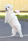 Bichon havanese dog stand. Up two legs Stock Image