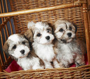 Bichon havanese puppies Royalty Free Stock Photos