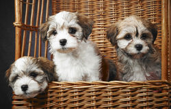Bichon havanese puppies Stock Photography