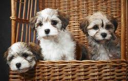 Bichon havanese puppies Stock Photography