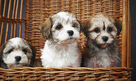 Bichon havanese puppies Stock Photos
