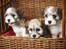 Bichon havanese puppies Stock Images
