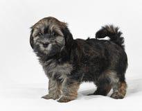 Bichon havanese puppy Royalty Free Stock Photo