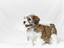 Bichon havanese puppy Royalty Free Stock Images