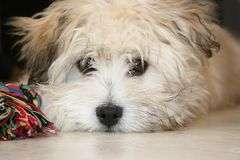 Bichon Hawanais. Closeup picture of a bichon cute eyes Stock Image