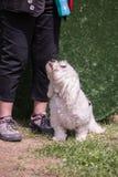 Bichon Hund lizenzfreie stockfotos