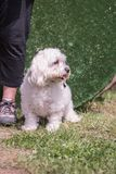 Bichon Hund stockfotos