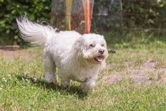 Bichon Hund lizenzfreies stockbild
