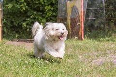 Bichon Hund lizenzfreies stockfoto