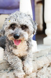Bichon-Hund Lizenzfreie Stockbilder