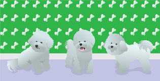 Bichon Love. Three beautiful Bichon standing together on a room Royalty Free Stock Image