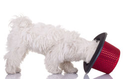 Bichon maletese and a hat Royalty Free Stock Photos