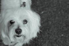 Bichon maltês Cão branco pequeno Foto de Stock