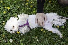Bichon Maltański pies Zdjęcia Royalty Free