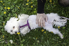 Bichon Maltese dog. Park, animal and nature Royalty Free Stock Photos