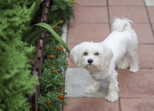 Bichon Maltese. In the garden with orange flowers and plants Royalty Free Stock Photography