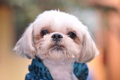 Bichon maltese portrait. Closeup of cute bichon maltese portrait Stock Photo