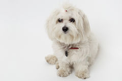 Bichon Maltese Royalty Free Stock Photo