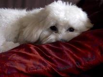 Bichon maltese resting Stock Photo