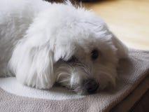 Bichon maltese resting Royalty Free Stock Images