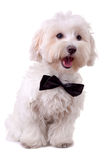 Bichon Maltese With Mouth Open Royalty Free Stock Photo