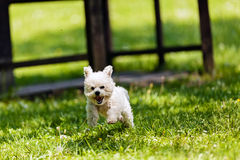 Bichon in the park Royalty Free Stock Photography