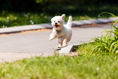 Bichon in the park. Cute small bichon running in the park, notice shallow depth of field Royalty Free Stock Photos