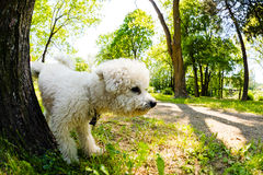 Bichon in the park. Cute small bichon running in the park, notice shallow depth of field Royalty Free Stock Photo