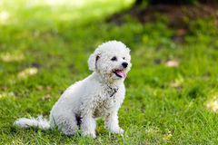 Bichon in the park stock image