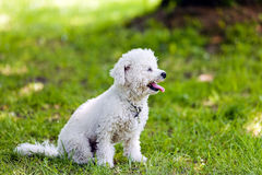 Bichon in the park. Cute small bichon sitting in grass in the park, notice: shallow depth of field Stock Images