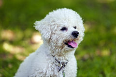 Bichon in the park royalty free stock photos