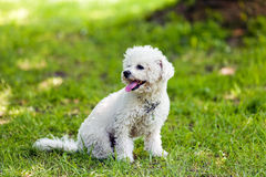 Bichon in the park. Cute small bichon sitting in grass in the park, notice: shallow depth of field Stock Photo