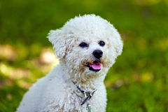 Bichon in the park royalty free stock image