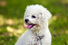 Bichon in the park stock photography