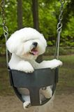 Bichon at play Stock Photo