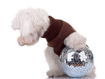 Bichon  playing with disco ball Stock Photo