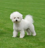 Bichon A' Poil Frise Stock Photo