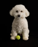 Bichon-poo Stock Photos