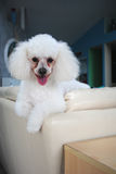 Bichon Poo on Back of Sofa. Bichon Frise/Poodle Mix lounging on back of sofa Stock Photos