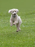 Bichon/Poodle mixed breed dog Royalty Free Stock Images