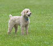 Bichon/Poodle mixed breed dog royalty free stock photography