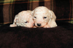 Bichon Puppies. Two young Bichon Frise puppies snuggled together on a brown blanket.  Brown plaid design behind them Stock Image