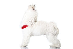 Bichon puppy. With red collar isolated on white Royalty Free Stock Photos