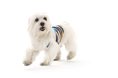 Bichon puppy Royalty Free Stock Photography