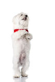Bichon puppy. With red collar isolated on white Royalty Free Stock Photography