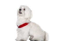 Bichon puppy Stock Image