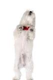 Bichon puppy Stock Photography
