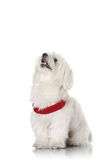 Bichon puppy. With red collar isolated on white Stock Photo