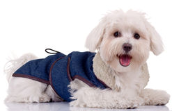 Bichon puppy. With blue clothes isolated on white Royalty Free Stock Images