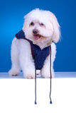 Bichon puppy with clothes Royalty Free Stock Photography